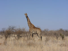 Giraffe standing in the veld
