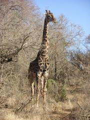 Photo of Giraffe standing tall next to a tree