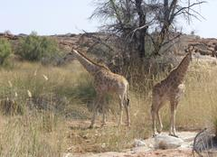 Baby Giraffes Photo