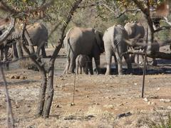 Photo of Elephants standing and drinking at waterhole