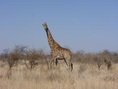 Photo of Giraffe Standing in Veld