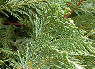 Leylands Cypress Branch