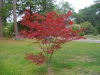 Japanese Maple (Red)