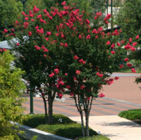 Crape Myrtle Tonto (Dark Red)