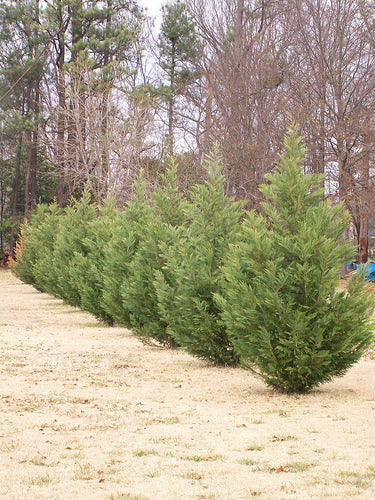Thuja 'Green Giant' Evergreen Privacy Trees – AnythingGreen com
