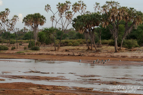 Print - Africa - Kenyan Marabou Storks in the Ewaso Ng'iro River - Samburu National Reserve
