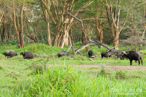Print - African Buffalos at the Lake Nakuru National Park