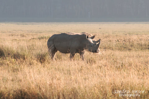 Print - Africa - White Rhino at Lake Nakuru National Park