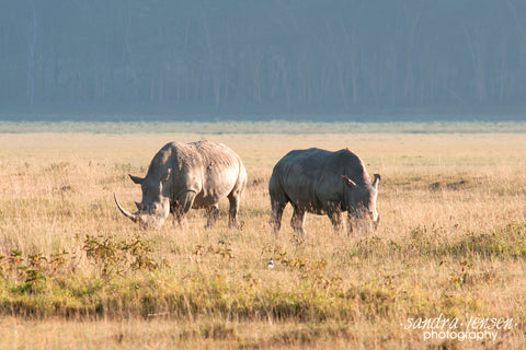Print - Africa - White Rhinos at Lake Nakuru National Park