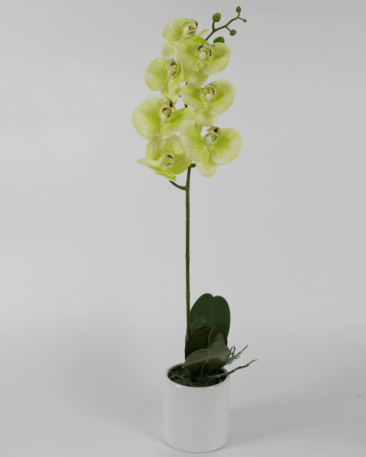 Single Light Green Orchid with White Pot