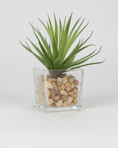 Green Agave in Rocks with Glass Pot