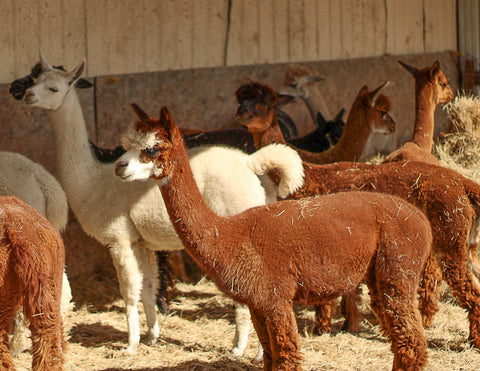 Alpaca Tour (in-person)