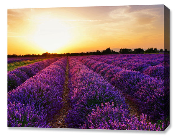 Lavender Field At Sunset II