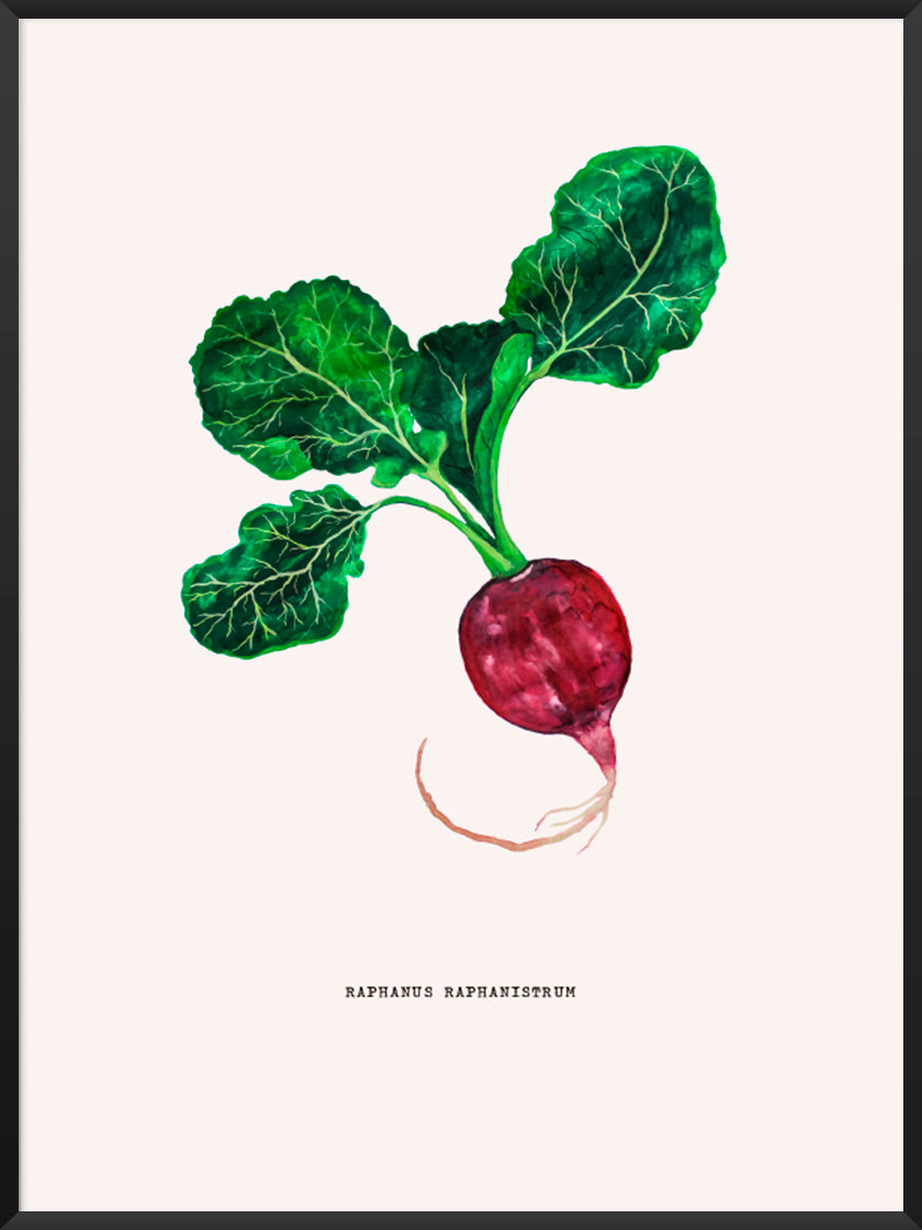 project-nord-vintage-botanical-radish-poster-product-picture