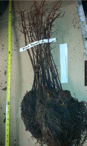 bare root plants