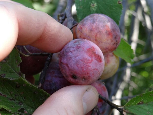 Plum, American. As low as $2.75.  Prunus americana  species