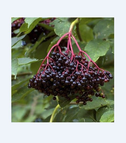 Elderberry, American.  FROM 3 TO 25 PLANTS.  As low as $2.45 per plant.  Sambuscus nigra ssp. canadensis