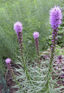 Blazing Star, Purple.  Liatris spicata. Low as 49 cents ea. Open to see discounts.