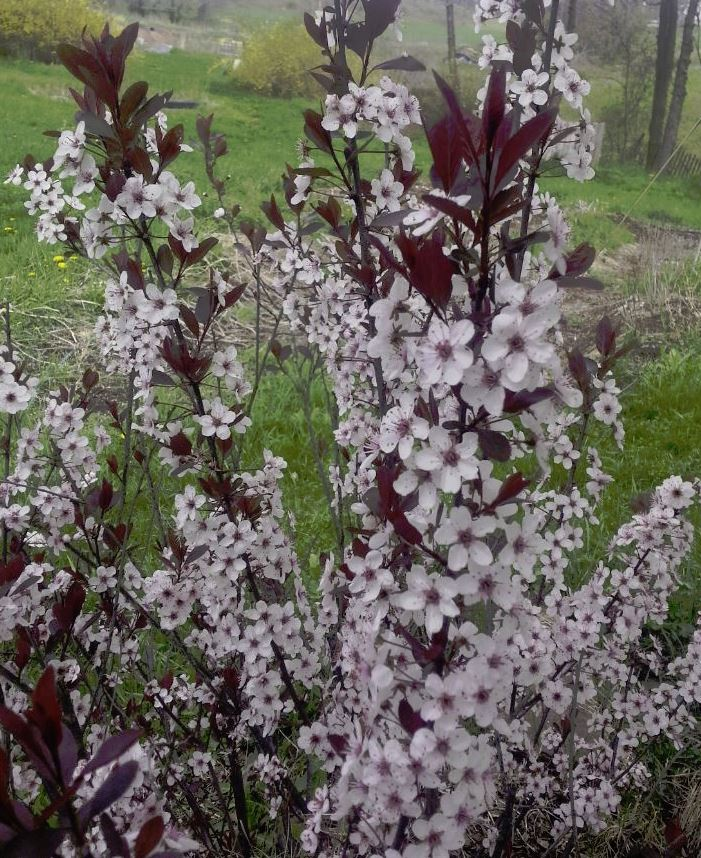 Purple Leaf Sand Cherry. Prunus x cistena.  Open to see discounts.