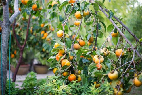 Persimmon. Low as $2.95 a plant. Diospyros virginiana