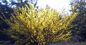 Witchhazel. As low as $2.75 per plant. Hamamelis virginiana