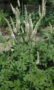 Black Cohosh.  Low as $1.75.  Cimicifuga Racemosa.