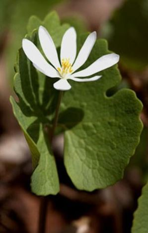 Bloodroot.  Low as $1.75 ea.  Sanguinaria canadensis.