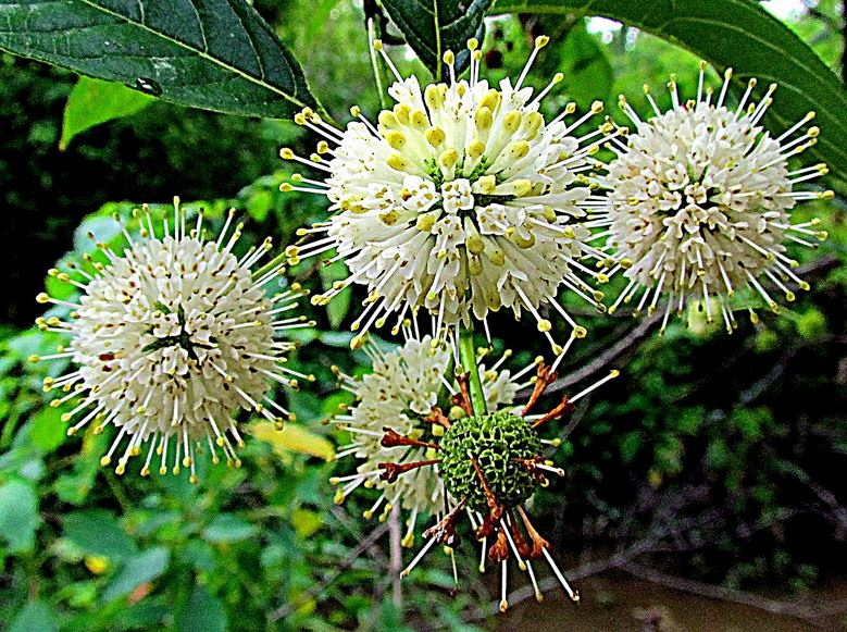 Buttonbush. As low as $2.75 per plant.  Cephalanthus occidentalis