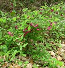 Coralberry.  As low as $1.95 a plant.  Symphoricarpos orbiculatus
