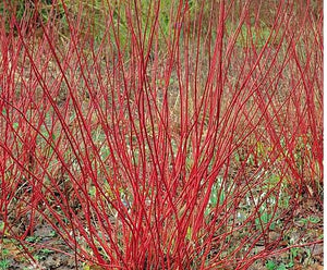 Dogwood, Coral Red.  As low as $1.95 per plant.  Cornus alba 'Sibirica'