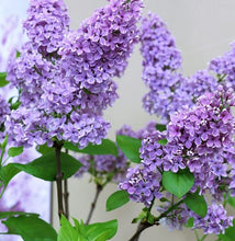 Lilac, Old Fashioned.  Syringa vulgaris.  Open to see discounts.