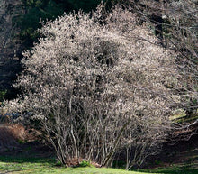 Serviceberry, Shadbush. As low as $2.75 per plant. Amelanchier canadensis (species).