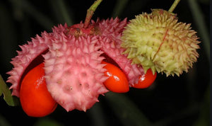 Strawberry Bush, American. As low as $1.95 per plant. Euonymous americanus