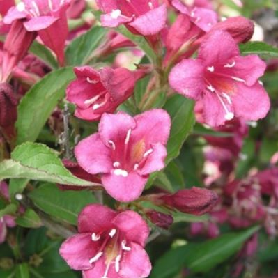 Weigela, Vanicek. Low as $2.75. Weigela florida 'Vanicekii'