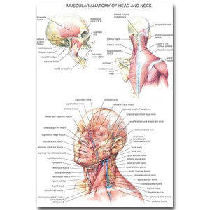 Human Anatomy Head and Neck Poster Medical Education - Kickcap
