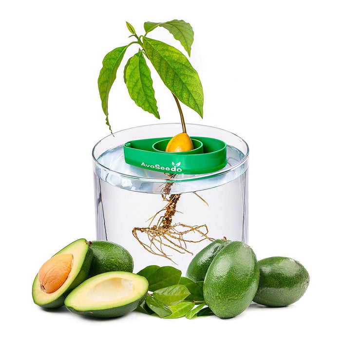 Avocado Tree Starter Kit (Set of 3)