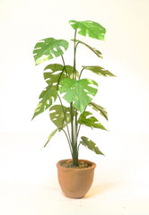 VARIEGATED Medium CHEESE PLANT terracotta pot with fluted edge 12th scale