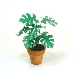 SMALL CHEESE PLANT in terracotta pot 12th
