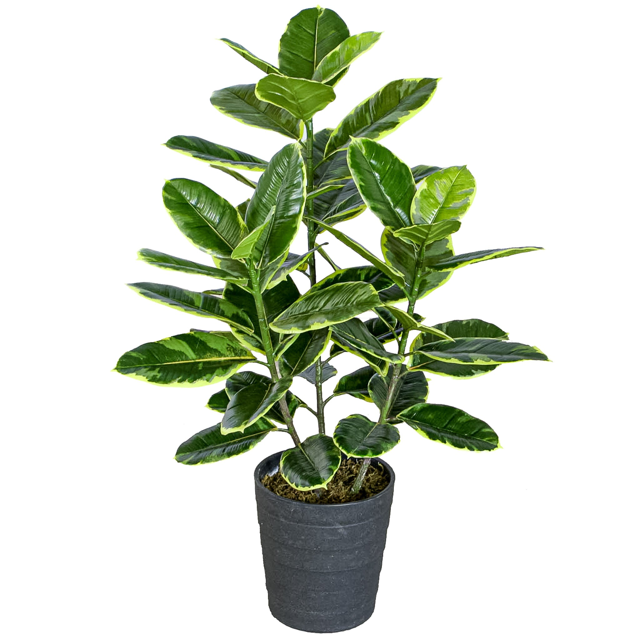 Rubber Plant w/Pot