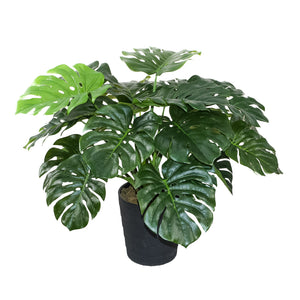 Monstera w/Pot