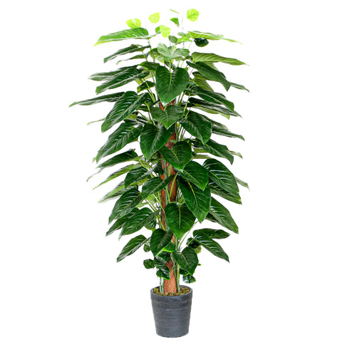 Philodendron w/Pole & Pot