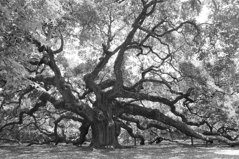 Angel Oak Bl&Wh-Retired Image