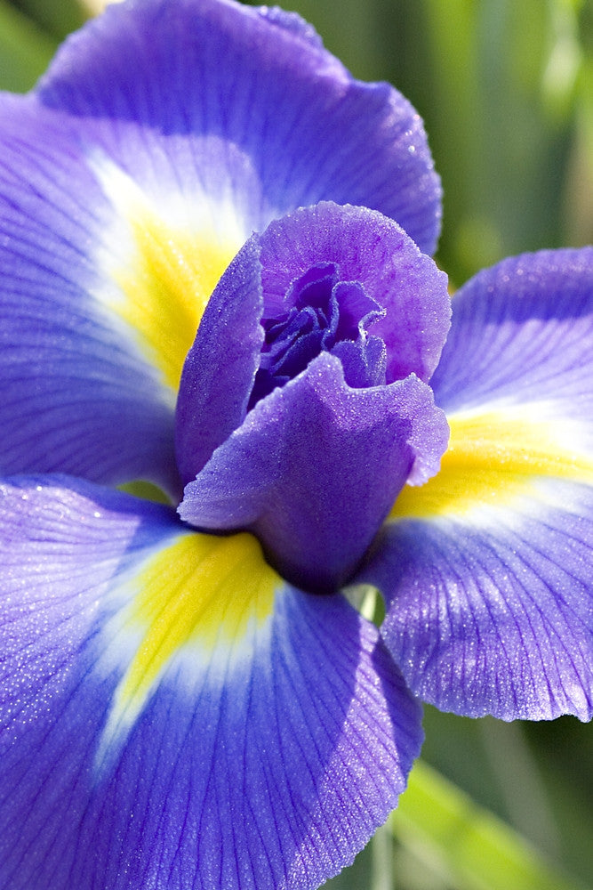 Blooming Iris/Flowers