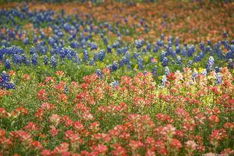 Texas Bluebonnet Variety Pack
