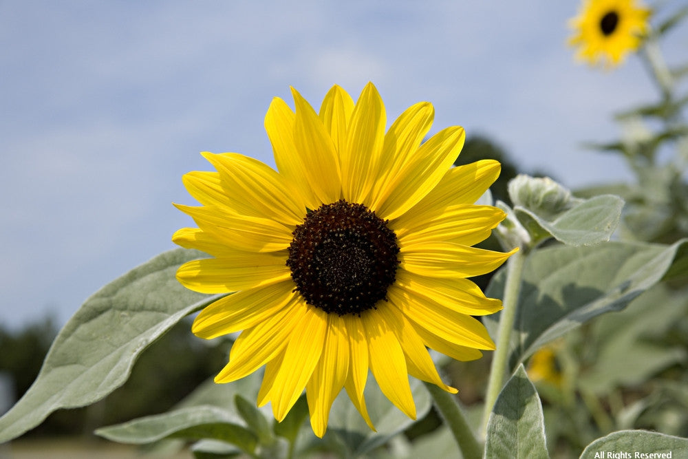 Rosebank Sunflower