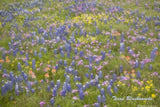 Texas Bluebonnet Boxed Cards