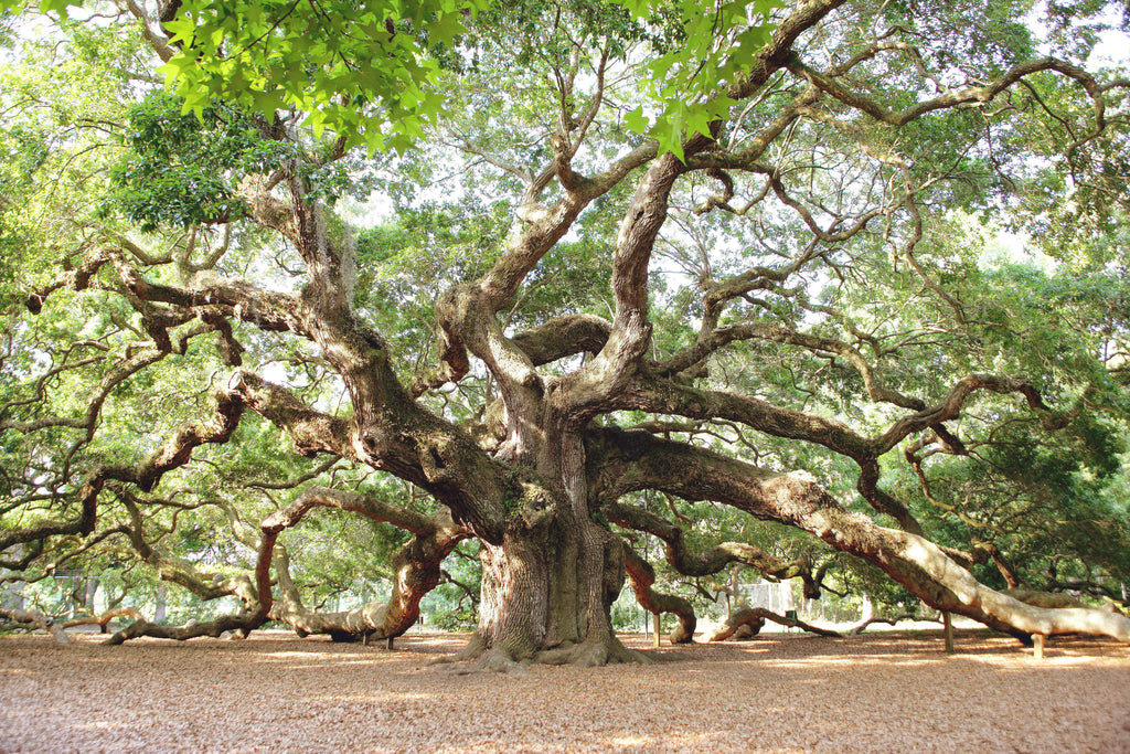 Angel Oak Retired Image