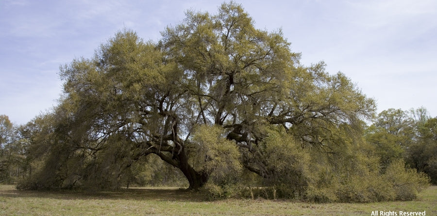Sprawling Oak Note Card