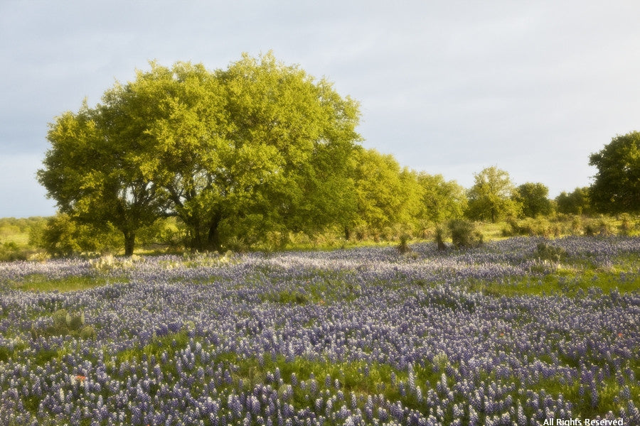 Bluebonnet Heaven