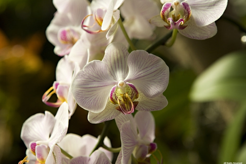 Chilcote Orchid/Flowers